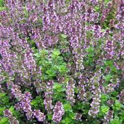 Tymián obecný 'Tabor' - Thymus vulgaris 'Tabor'