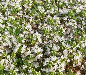 Mateřídouška 'Albiflorus' - Thymus praecox 'Albiflorus'