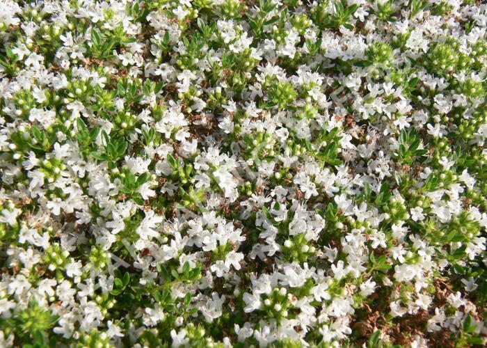 Mateřídouška časná 'Albiflorus' - Thymus praecox 'Albiflorus'