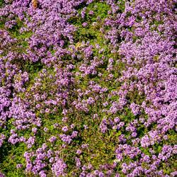 Mateřídouška 'Bressingham' - Thymus doerfleri 'Bressingham'