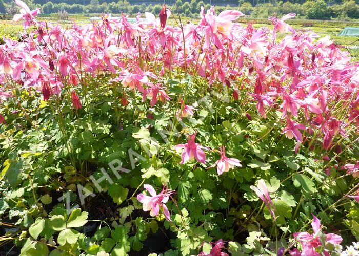 Orlíček 'Spring Magic Rose and Ivory' - Aquilegia caerulea 'Spring Magic Rose and Ivory'
