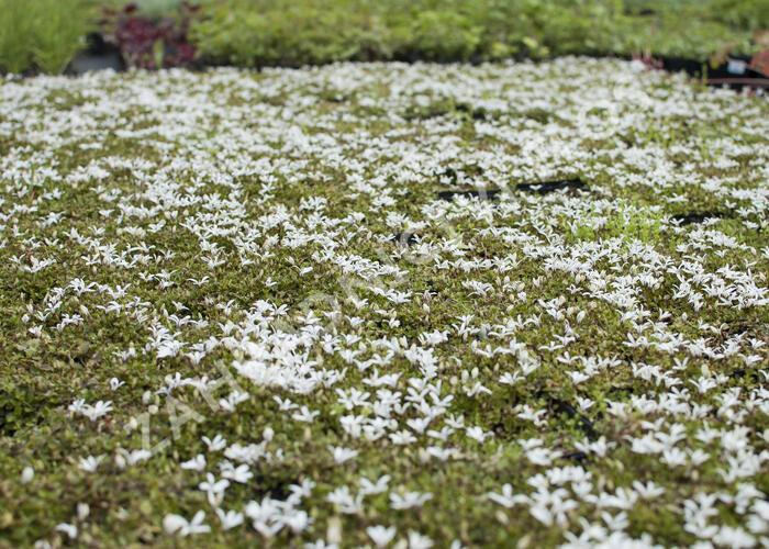 Pratia angulata 'Treadwellii' - Pratia angulata 'Treadwellii'