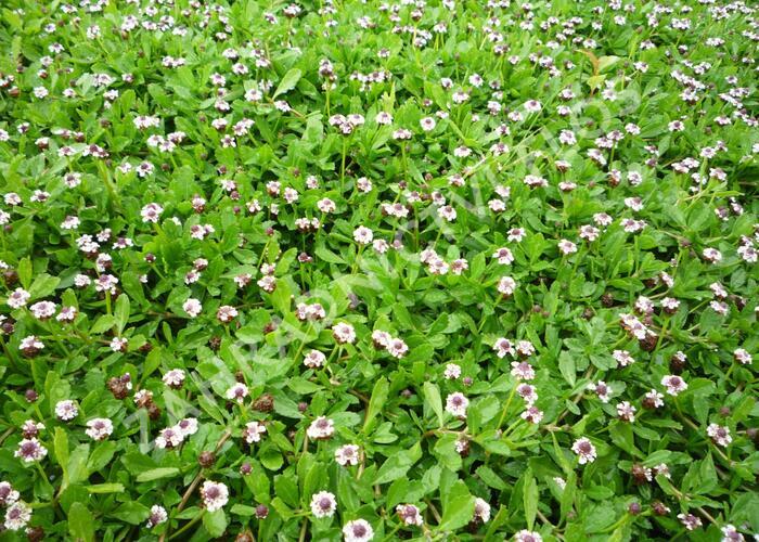 Lippia - Phylla nodiflora