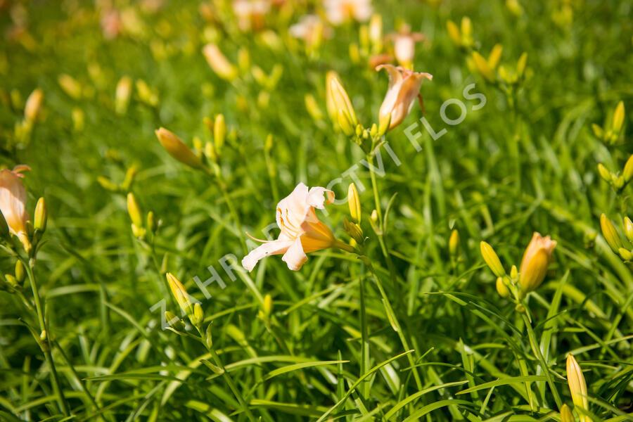 Denivka 'Mini Pearl' - Hemerocallis 'Mini Pearl'