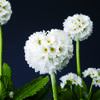 Prvosenka zoubkatá 'Confetti White' - Primula denticulata 'Confetti White'
