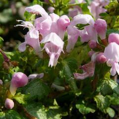Hluchavka skvrnitá 'Pink Nancy' - Lamium maculatum 'Pink Nancy'