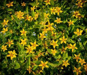 Ostálka viržinská - Chrysogonum virginianum