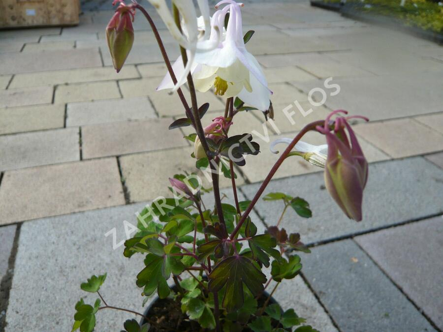 Orlíček 'Spring Magic White' - Aquilegia caerulea 'Spring Magic White'