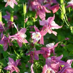 Orlíček 'Spring Magic Rose and White' - Aquilegia caerulea 'Spring Magic Rose and White'