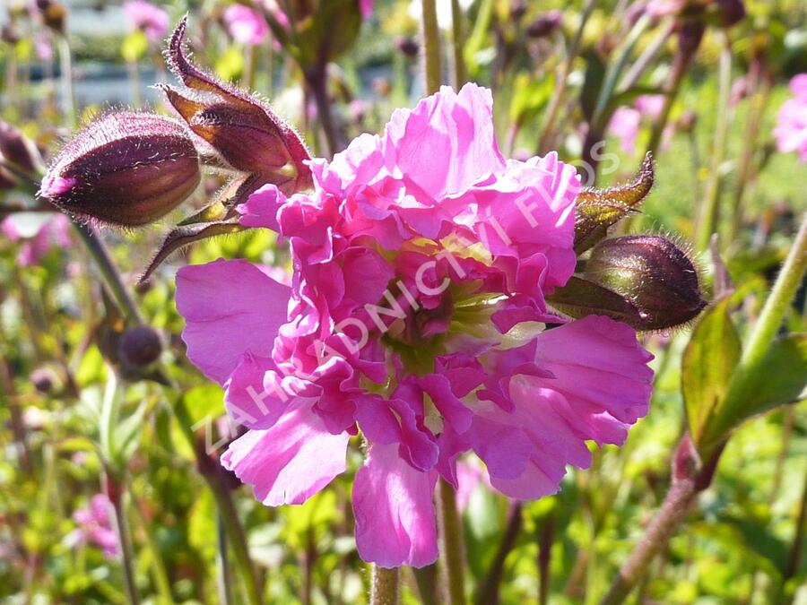 Silenka dvoudomá 'Rosea Plena' - Silene dioica 'Rosea Plena'