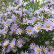 Hvězdnice hladká 'Novemberblau' - Aster laevis 'Novemberblau'