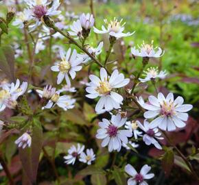 Hvězdnice srdcolistá 'Blütenregen' - Aster cordifolius 'Blütenregen'