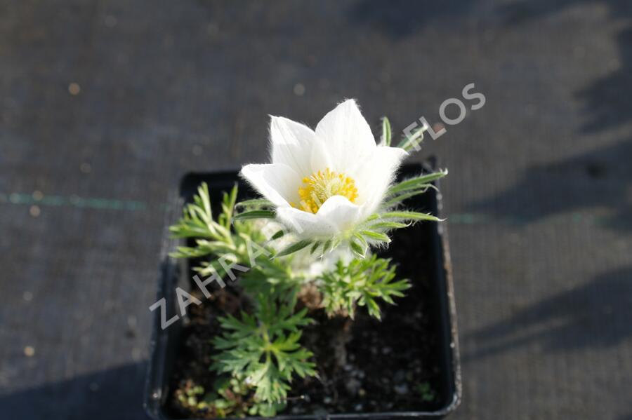 Koniklec obecný' Pinwheel White' - Pulsatilla vulgaris 'Pinwheel White'