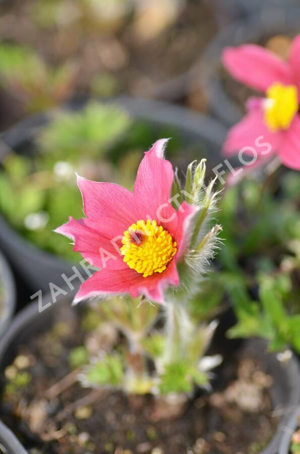 Koniklec obecný 'Pinwheel Dark Red Shades' - Pulsatilla vulgaris 'Pinwheel Dark Red Shades'