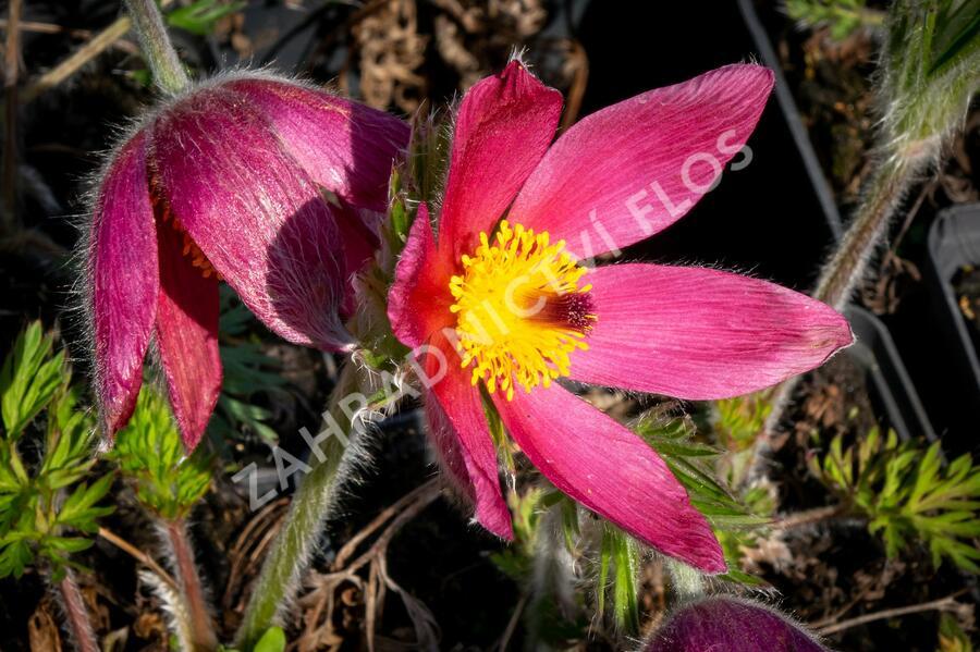 Koniklec obecný 'Pinwheel Dark Red Shades' - Pulsatilla vulgaris 'Pinwheel Dark Red Shades'