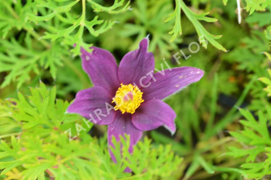 Koniklec obecný 'Pinwheel Blue Violet Shades' - Pulsatilla vulgaris 'Pinwheel Blue Violet Shades'