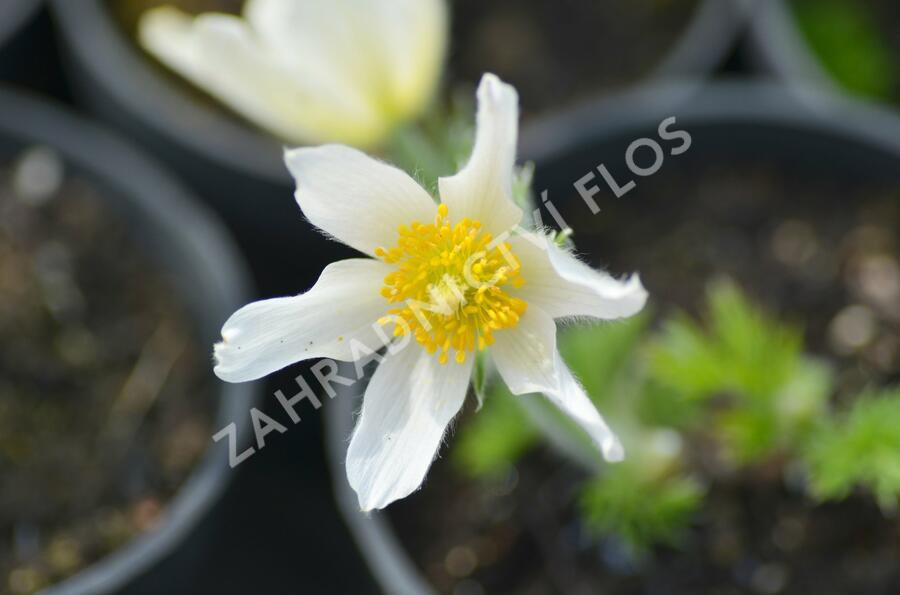 Koniklec obecný 'Alba' - Pulsatilla vulgaris 'Alba'