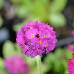Prvosenka zoubkatá 'Corolla Deep Rose' - Primula denticulata 'Corolla Deep Rose'
