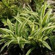 Ostřice 'Variegata' - Carex siderosticha 'Variegata'