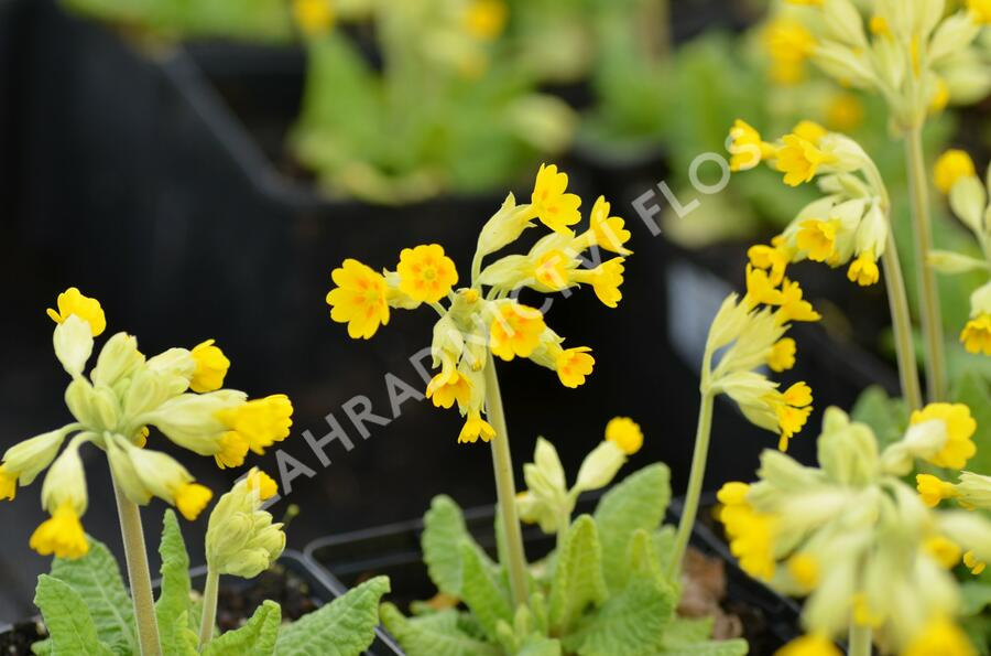 Prvosenka jarní 'Cabrillo Dark Yellow Compact' - Primula veris 'Cabrillo Dark Yellow Compact'