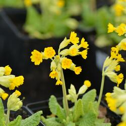 Prvosenka jarní 'Cabrillo Dark Yellow Compact' - Primula veris 'Cabrillo Dark Yellow Compact'