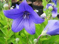 Boubelka 'Astra Blue' - Platycodon grandiflorus 'Astra Blue'