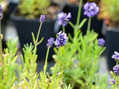 Levandule úzkolistá 'Mini Blue' - Lavandula angustifolia 'Mini Blue'