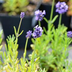 Levandule úzkolistá 'Mini Blue' - Lavandula angustifolia 'Mini Blue'