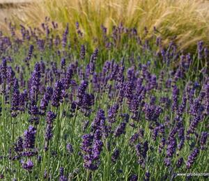 Levandule úzkolistá 'Lavance Purple' - Lavandula angustifolia 'Lavance Purple'