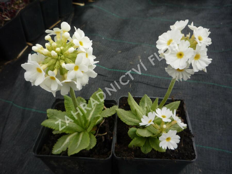 Prvosenka zoubkatá  'Corolla White' - Primula denticulata 'Corolla White'