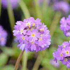 Prvosenka zoubkatá 'Corolla Blue' - Primula denticulata 'Corolla Blue'