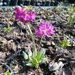 Prvosenka zoubkatá 'Rubin' - Primula denticulata 'Rubin'