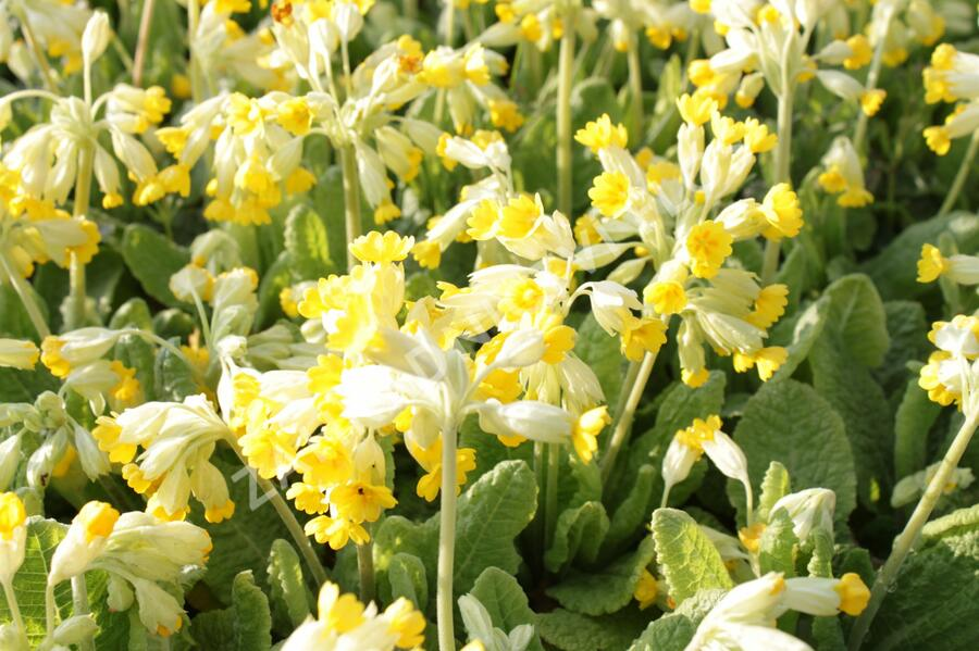 Prvosenka jarní 'Cabrillo Yellow' - Primula veris 'Cabrillo Yellow'