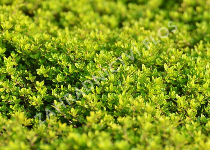 Mateřídouška 'Aureus' - Thymus x citriodorus 'Aureus'