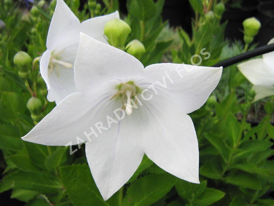 Boubelka 'Astra White' - Platycodon grandiflorus 'Astra White'