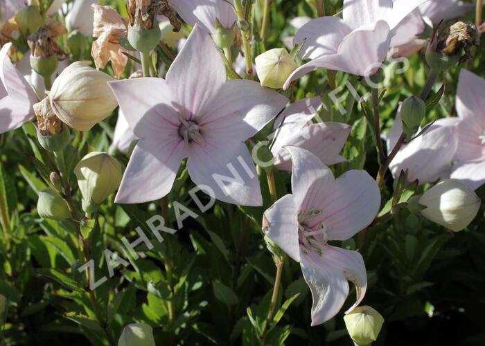 Boubelka 'Astra Rose' - Platycodon grandiflorus 'Astra Rose'