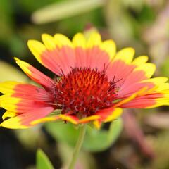 Kokarda osinatá 'Sunburst Yellow with Red' - Gaillardia aristata 'Sunburst Yellow with Red'