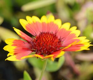 Kokarda osinatá  'Sunburst Yellow with Red' - Gaillardia aristata 'Sunburst Yellow with Red'