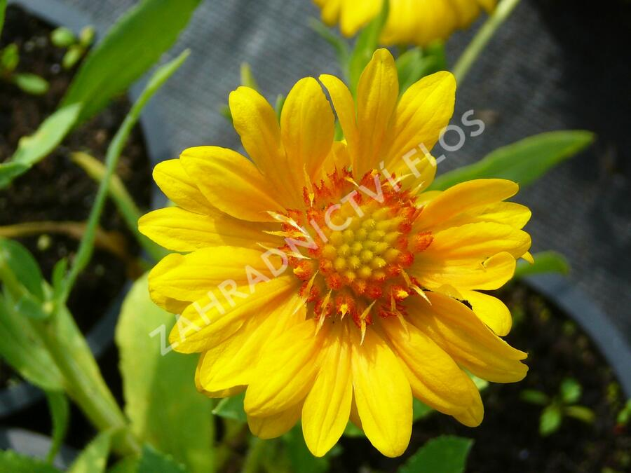 Kokarda osinatá 'Sunburst Orange' - Gaillardia aristata 'Sunburst Orange'
