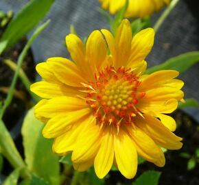 Kokarda osinatá 'Sunburst Orange' - Gaillardia aristata 'Sunburst Orange'