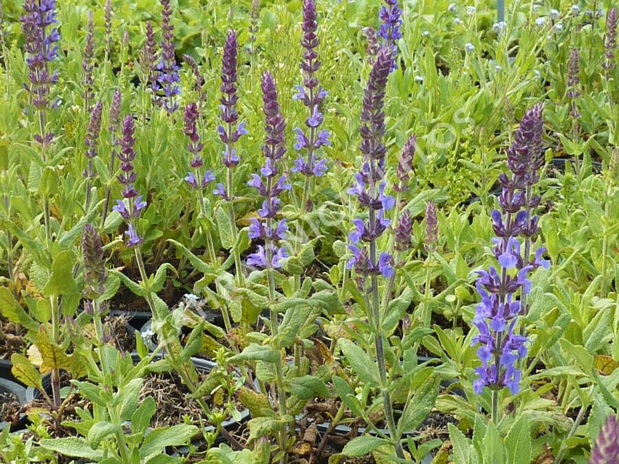 Šalvěj nádherná 'Merleau Blue' - Salvia superba 'Merleau Blue'