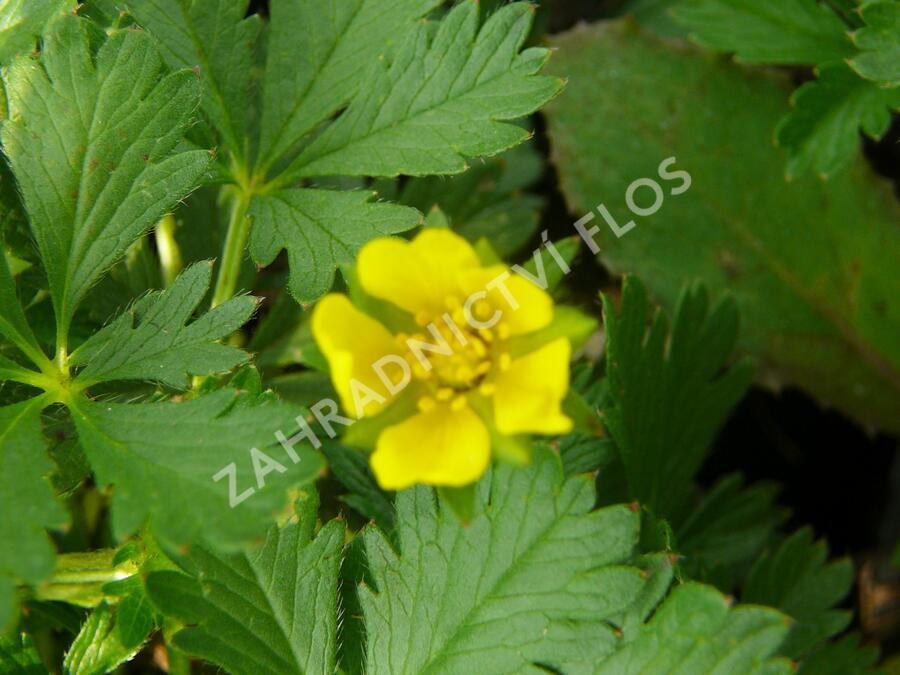 Mochna žlutá - Potentilla aurea
