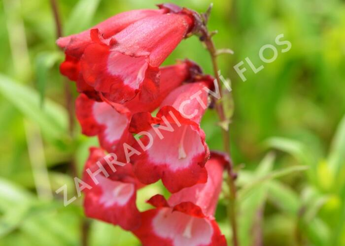 Dračík 'Arabesque Red' - Penstemon hartwegii 'Arabesque Red'