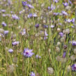 Poblekla modrá - Catananche caerulea