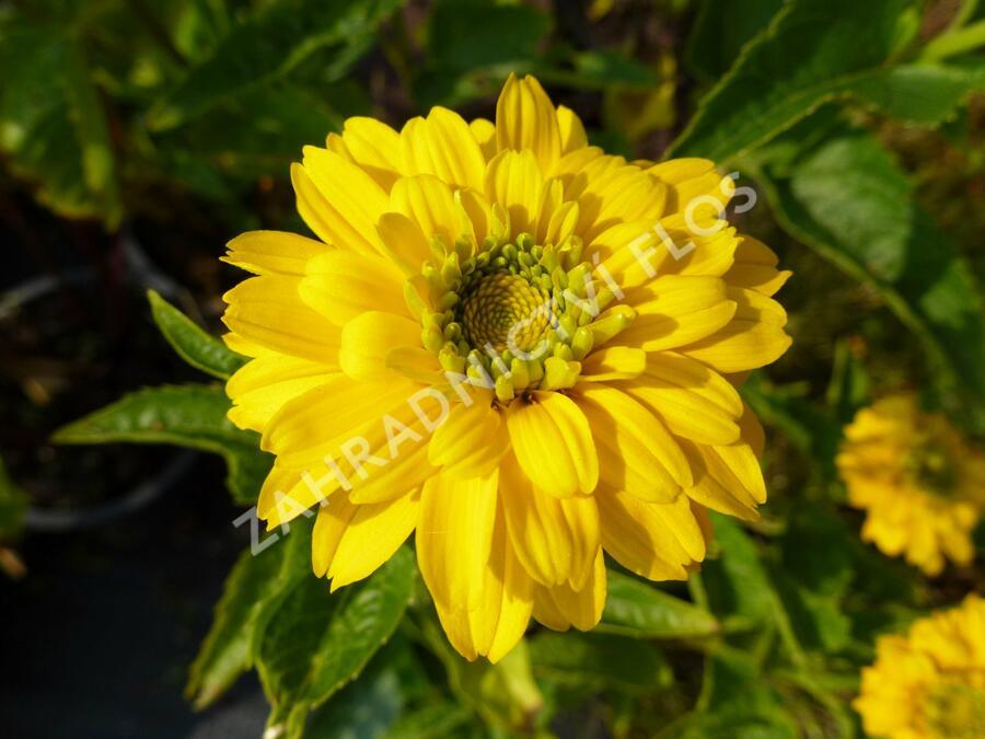 Janeba drsná 'Goldgrünhertz' - Heliopsis helianthoides 'Goldgrünhertz'