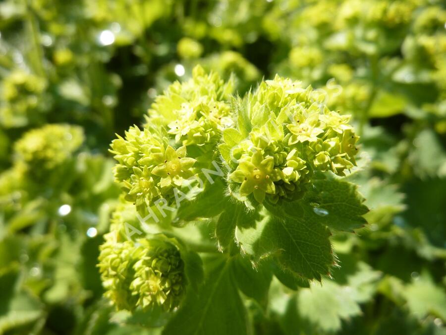 Kontryhel měkký 'Auslese' - Alchemilla mollis 'Auslese'