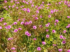 Šťavel - Oxalis articulata var.rubra