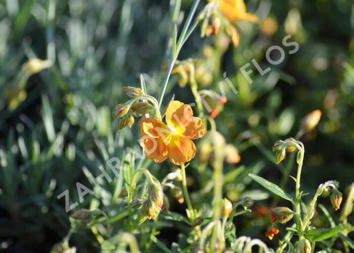 Devaterník 'Orange Double' - Helianthemum 'Orange Double'