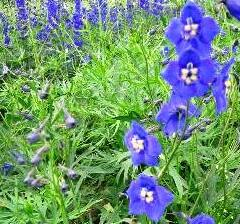 Ostrožka 'Balaton' - Delphinium belladonna 'Balaton'