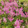 Čechrava čínská 'Little Vision in Pink' - Astilbe chinensis 'Little Vision in Pink'